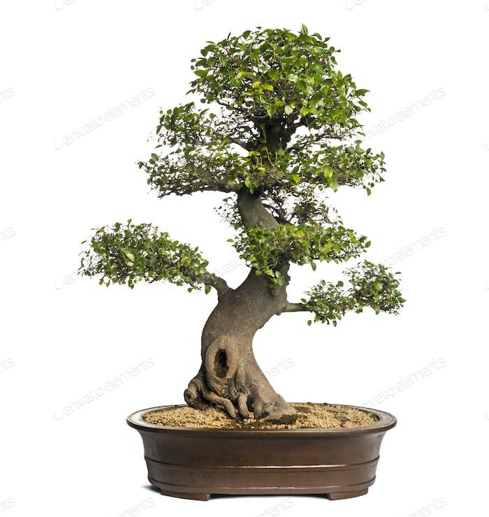 Celtis bonsai tree, hackberries, isolated on white