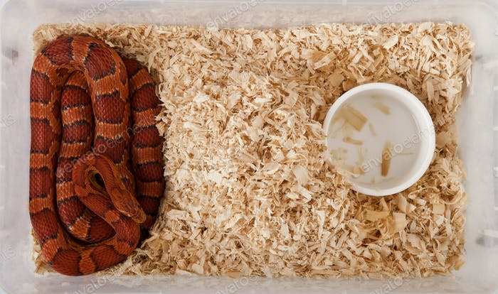 High angle view of corn snake or red rat snake, Pantherophis guttattus, in cage