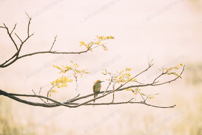 Goa, India. Green Bee-eater Bird Sitting On Branch Of Tree On Blerred Yellow Background