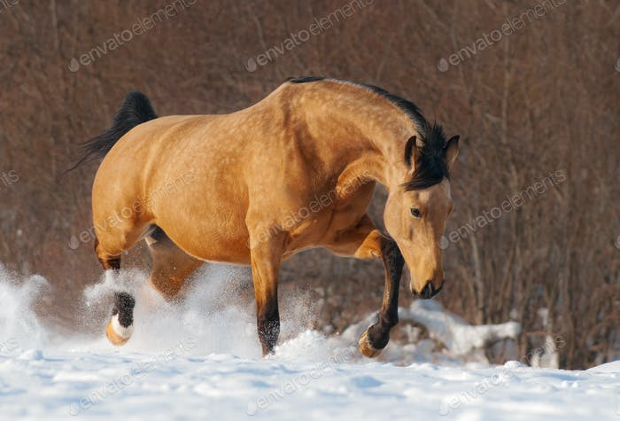 Dapple chestnut mustang trotting across winter snowy meadow.