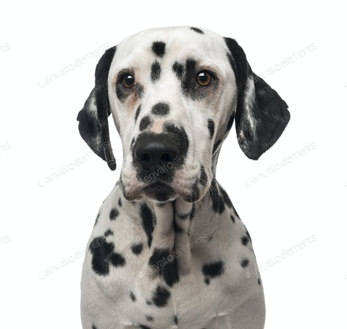 Close-up of a Dalmatian, 1 year old, isolated on white