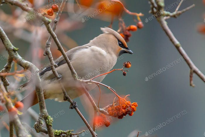 Bohemian waxwing during winter migration
