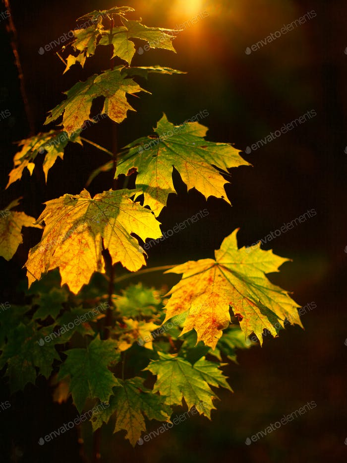 Large fresh green maple leaves with sun shinning through