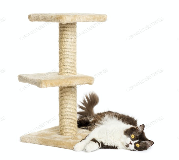 British longhair lying down at the bottom of a cat tree, isolated on white