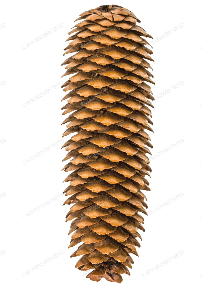 Beautiful pine cone isolated on a white background