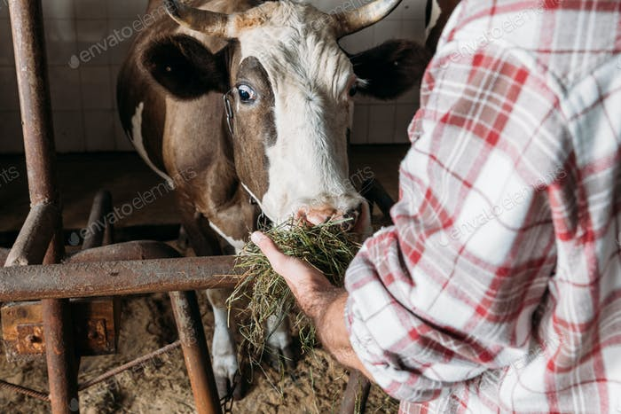 cropped shot of farmer feeding cow with hay in stall