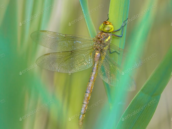 Green eyed hawker on  turqouise reed background