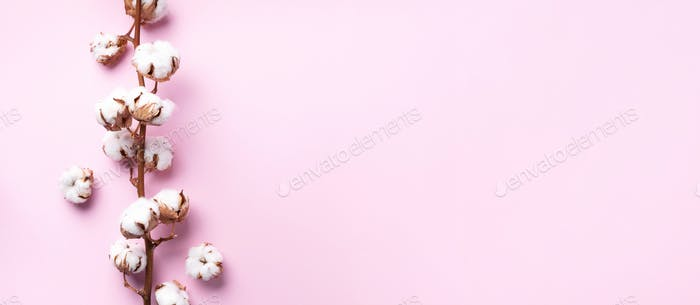 Cotton flower branch on pink background with copy space. Top view. Flat lay. Flowers composition