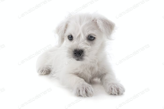 Maltese Westie puppy dog isolated on white background