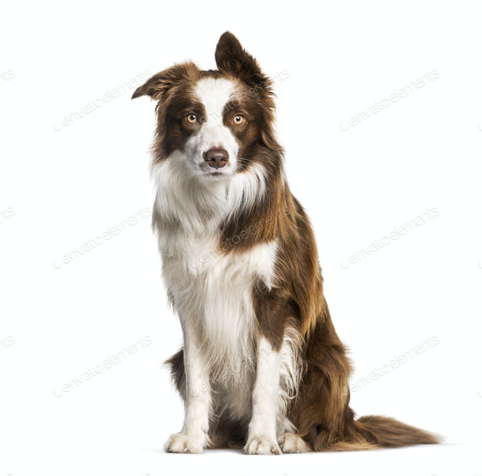 Border Collie, 1 year old, sitting in front of white background