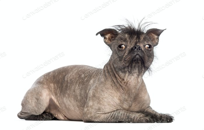 Hairless Mixed-breed dog, mix between a French bulldog and a Chinese crested dog, lying
