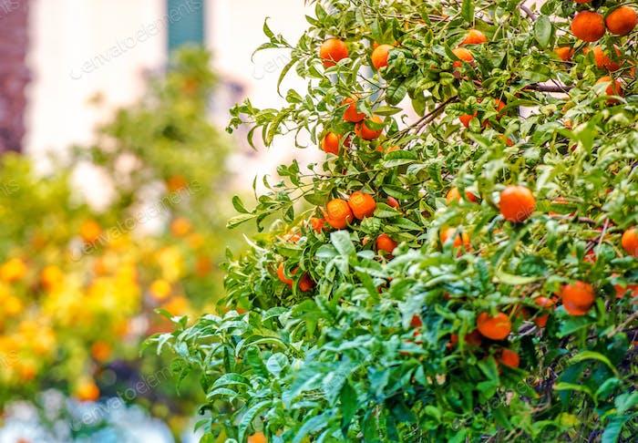 Mandarinenbäume der Riviera