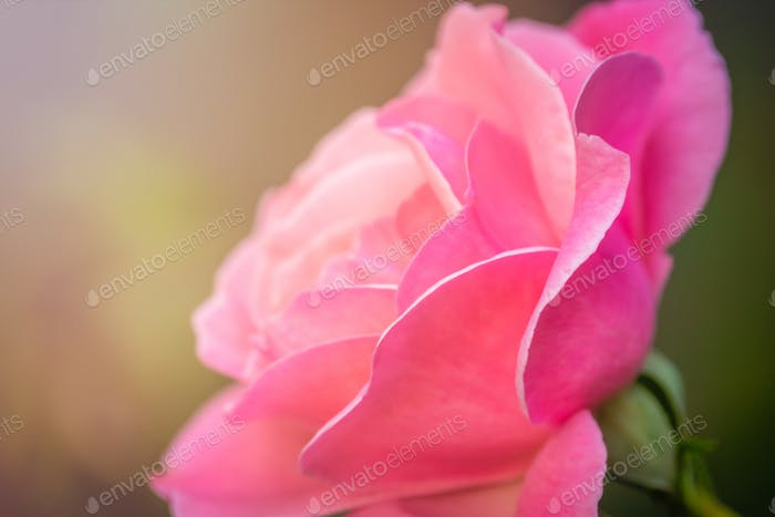 Close up of a small pink rose