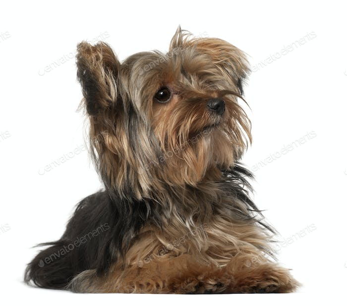 Yorkshire Terrier, 8 months old, lying in front of white background