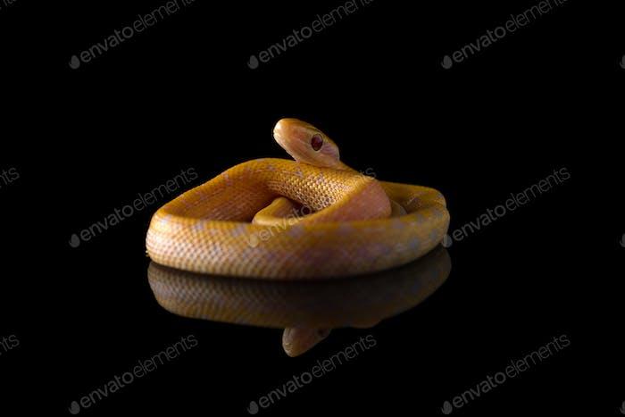 Beauty rat Snake albino isolated on black background