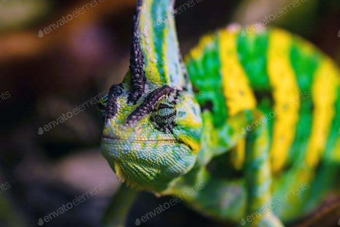 Close up Veiled chameleon or Chamaeleo calyptratus