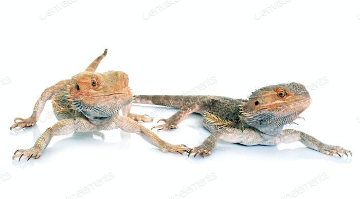 bearded dragons in studio