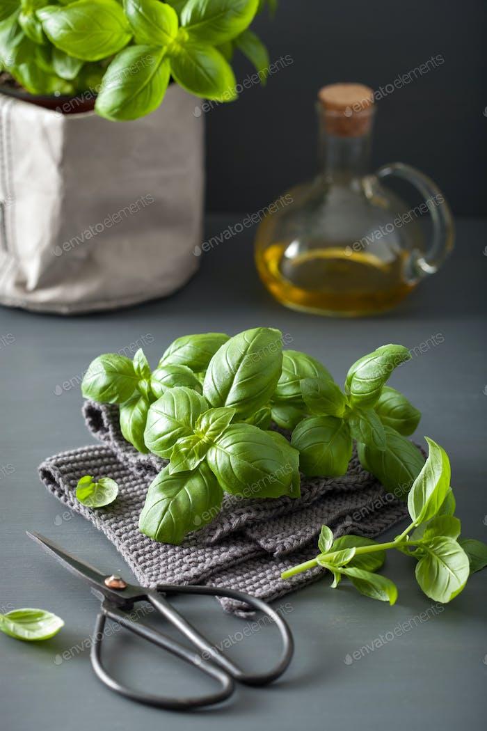 fresh basil herb green leaves