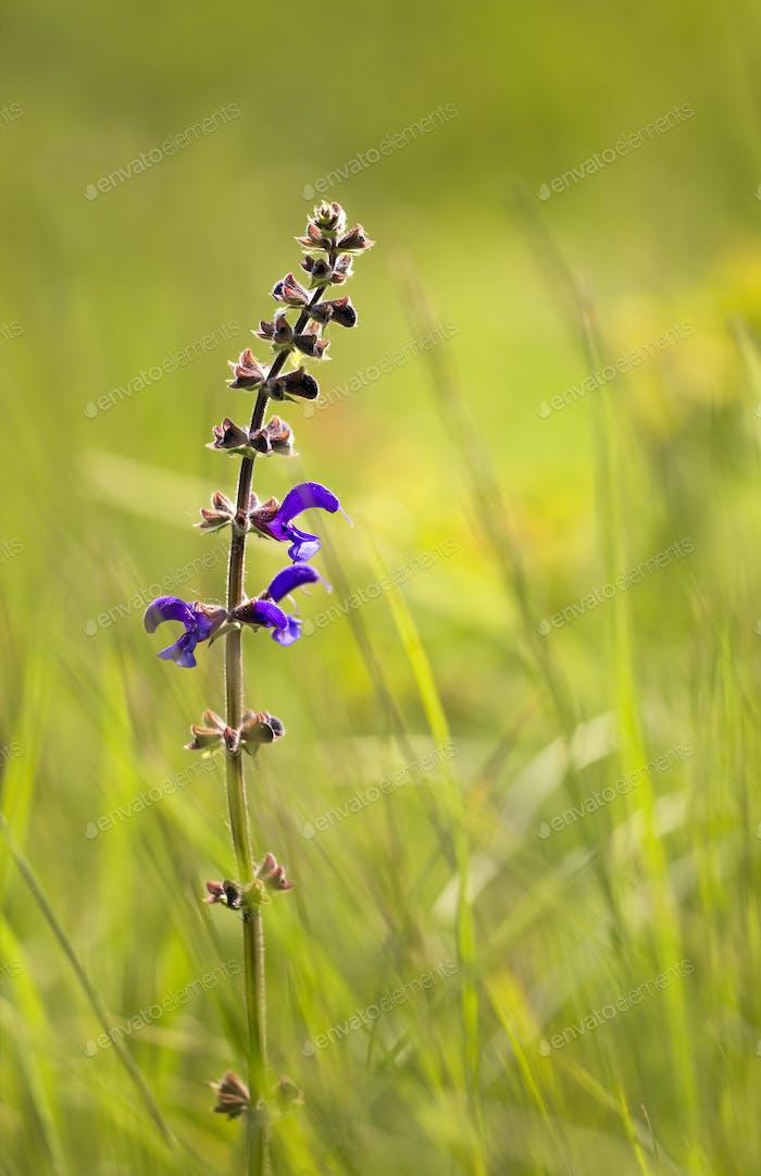 Salvia floreciente a base de hierbas
