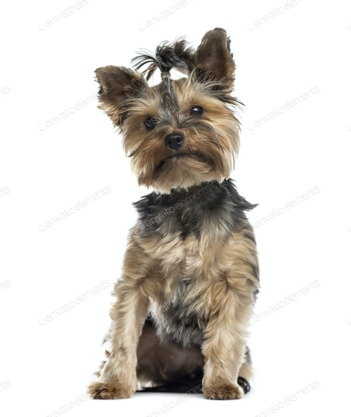 Sitting Yorkshire terrier dog, Isolated