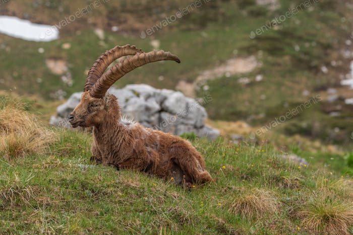 Alpine ibex enjoying a summer evening in the mountains