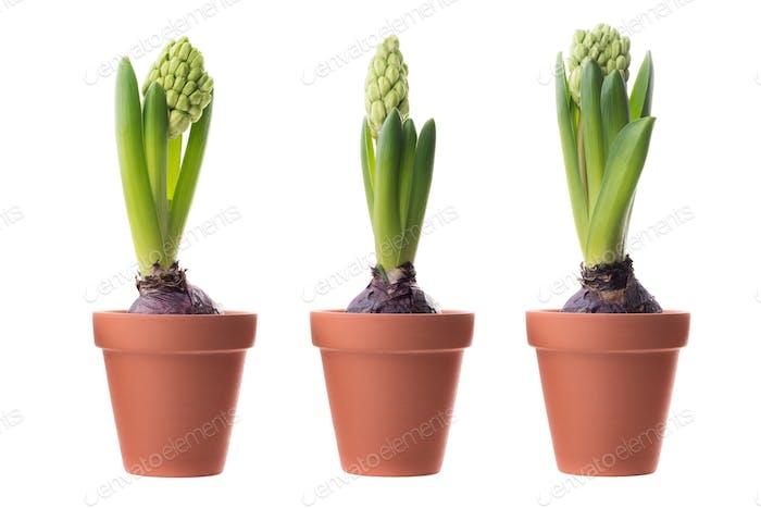 Three green hyacinths