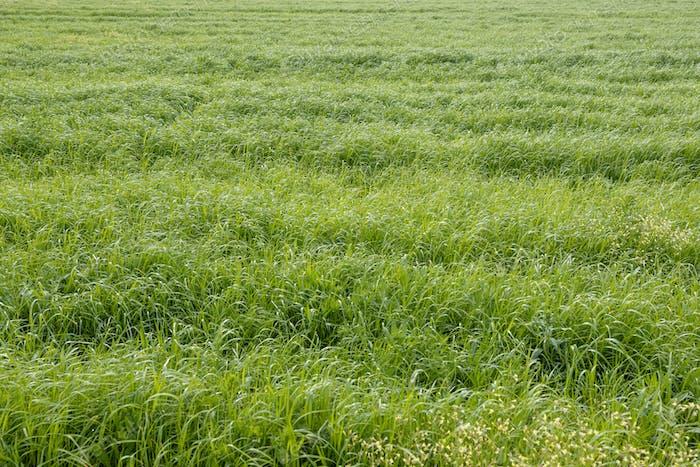 Hierba verde de un fondo de campo agrícola