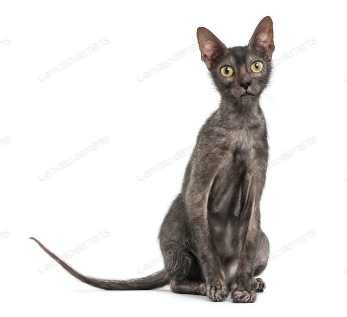 Lykoi cat, 7 months old, also called the Werewolf cat , against white background