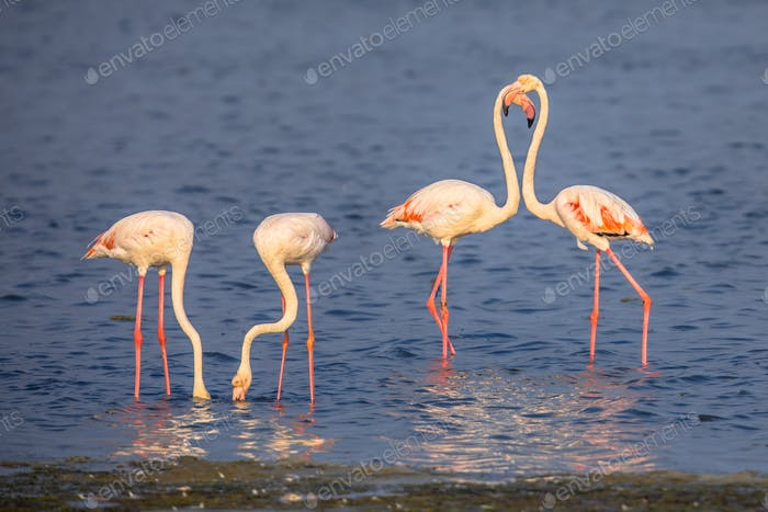 Four Flamingos foraging