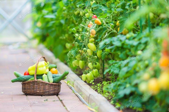 Nahaufnahme Korb mit Grün und Vagetables im Gewächshaus. Erntezeit