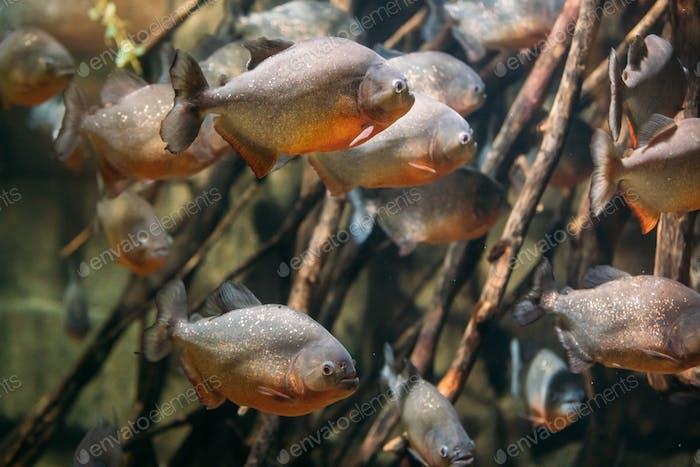 Red-bellied Piranha Or Red Piranha Fish Pygocentrus Nattereri Sw