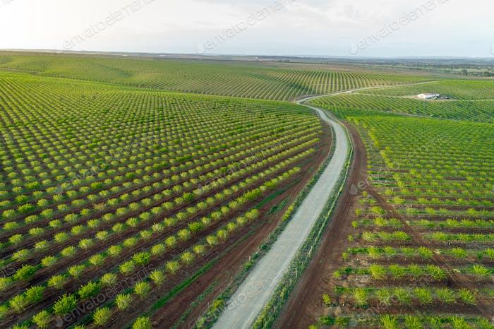 Aereal views of almond tree plantation in Alentejo, Portugal