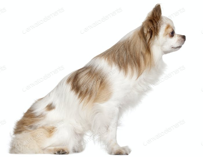Side view of Chihuahua, 7 years old, in front of white background