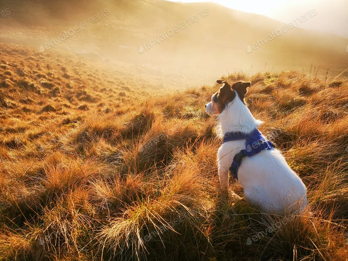 A Parson Jack Russell Terrier dog gazing out at a misty sunset