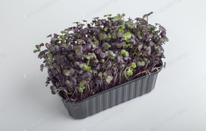 Red microgreens inside black plastic box isolated on white