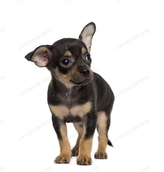 Standing brown and black Chihuahua puppy, cut out