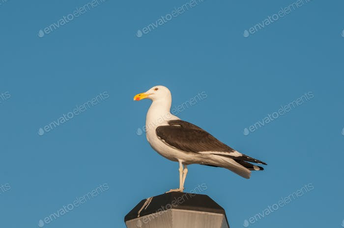 Kelp Gull on a lamp post