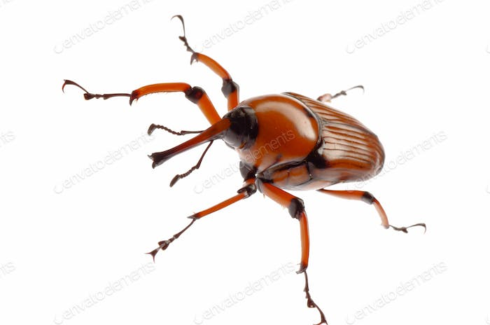 brown palm weevil beetle