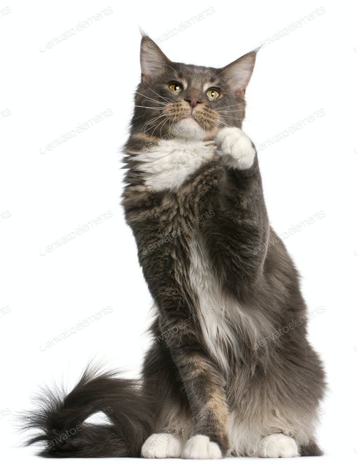 Maine Coon cat, 11 months old, sitting in front of white background