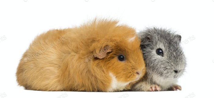 Two Swiss Teddy Guinea Pigs, isolated on white
