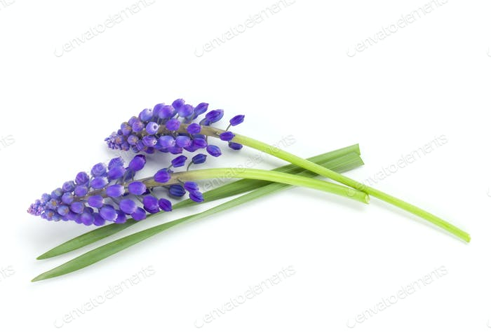Lying blue hyacinth flowers