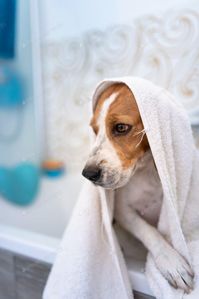 Nervous beagle dog in bathtub taking shower. Dog not liking water baths concept