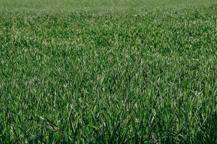 Natural green grass background. Real green grass on the background. Green grass background