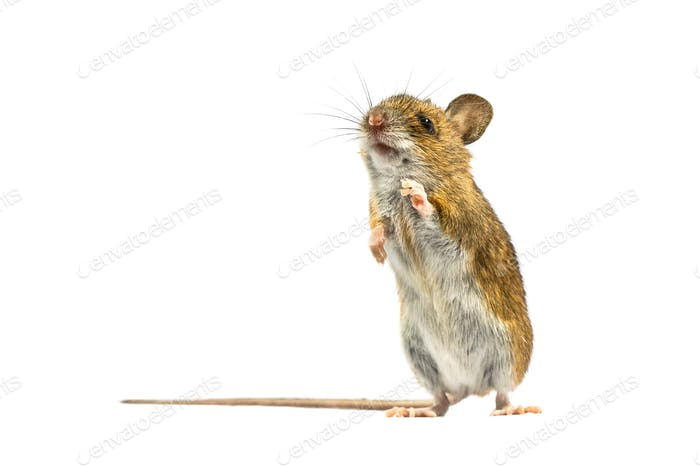 Erected mouse isolated on white background