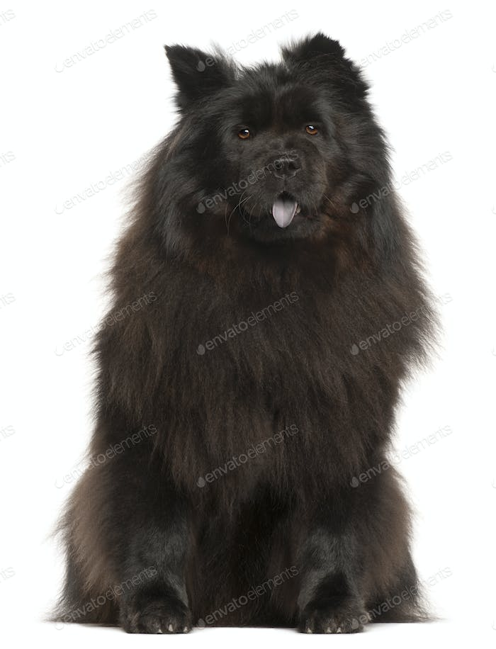 Chow Chow, 2 years old, sitting in front of white background