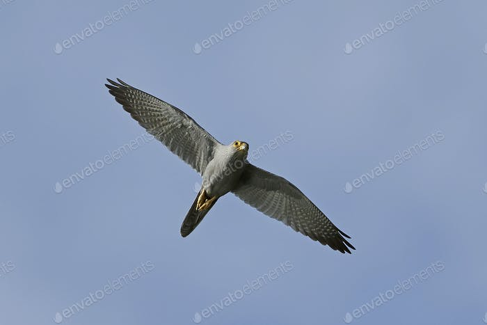 Grey kestrel (Falco ardosiaceus)