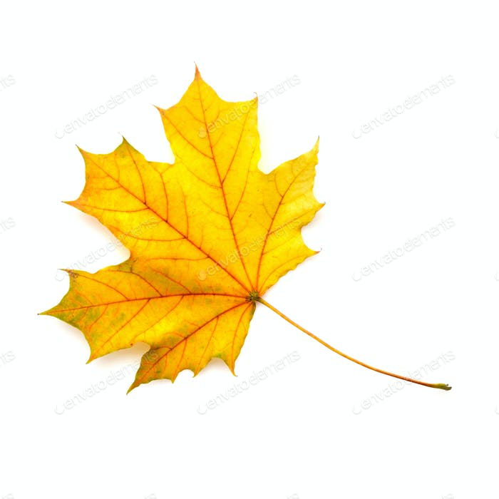 Autumn maple leaf isolated on a white background. Top view.