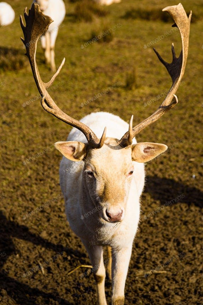 White Roe deer in autumn. Albino Buck. Autumn Portrait of Roe deer