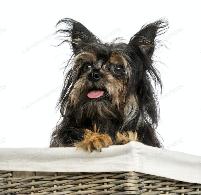 Close-up of a Mixed breed dog between Chihuahua and Yorkshire, in a basket, 9 months old