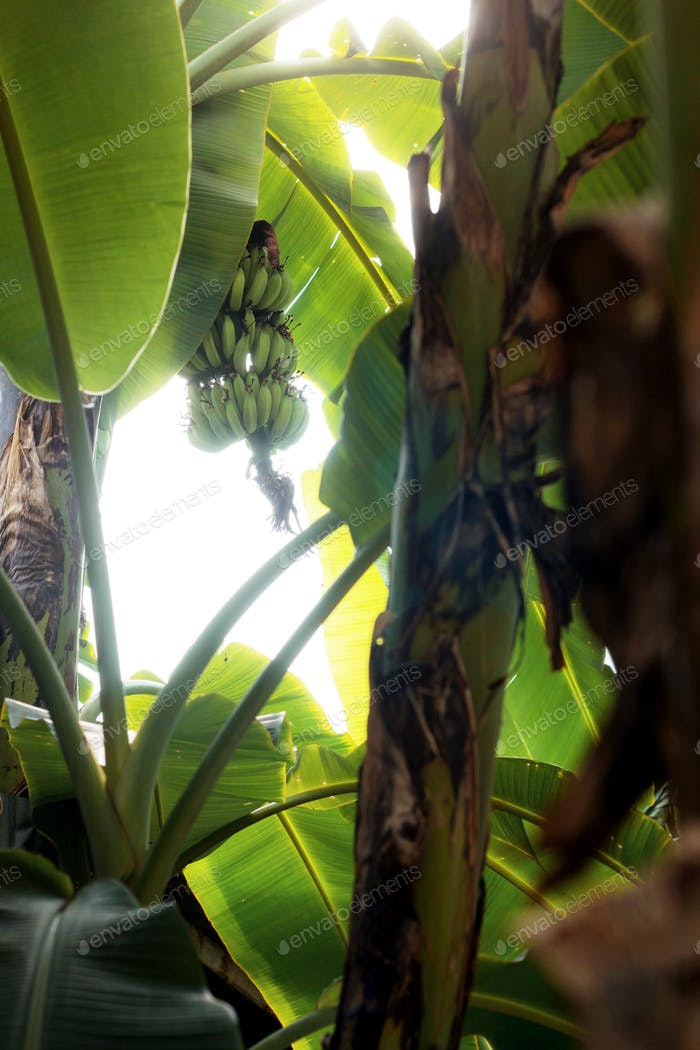 Banana tree with sunlight